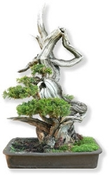 bonsai_raultetes