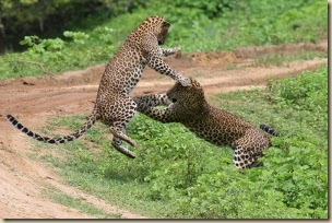 Sri-Lanka-leopárd
