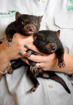 Sydney, 2009. október 22. Tasmanördög-kölyköket fog egy gondozó, miután egészségügyi vizsgálatot végeztek el az állatokon a sydneyi Taronga Állatkertben 2009. október 22-én. Tasmanián kívül sehol sem él vadon a tasman ördög, amely kipusztulással fenyegetett faj, a számuk 60 százalékkal csökkent 1996 óta, amikor egy fertõzõ rákfajta kezdte tizedelni az ördögpopulációt. A tasman ördög a világ legnagyobb ragadozó erszényese, ám termete még így is kisebb, mint az átlagos kutyáé. (MTI/EPA/Tracey Nearmy)