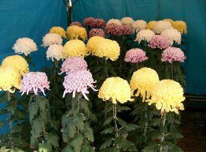 Chrysanthemum_morifolium_cvs2