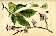 mezeiszil_ulmus_carpinifolia0