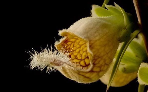 Rozsdás gyűszűvirág