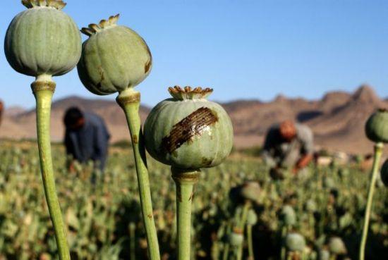 Kandahar Poppies