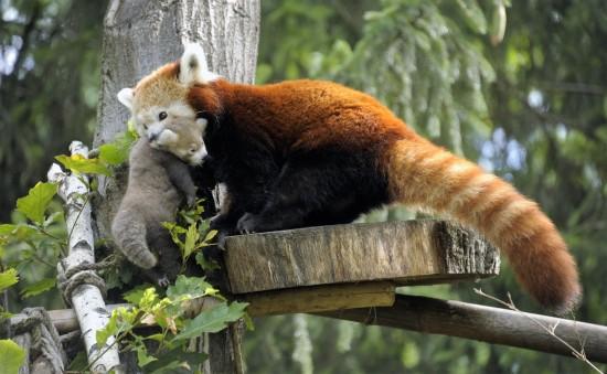 Kispanda anyjával