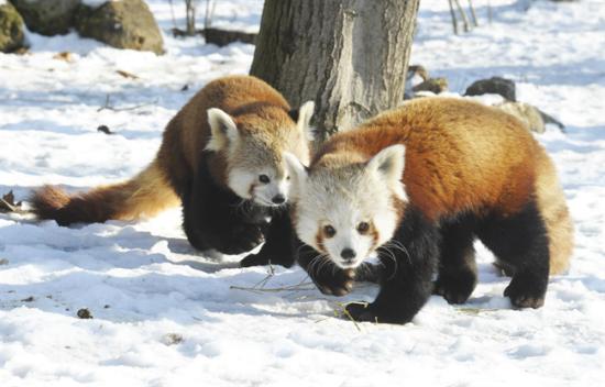 Kis panda szülők