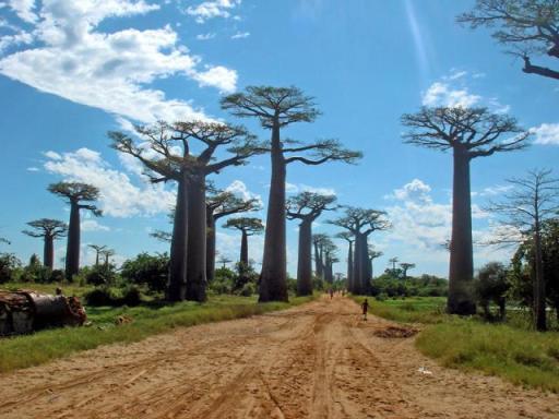 Baobab fák