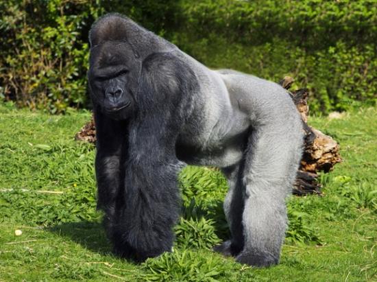 hegyi gorilla