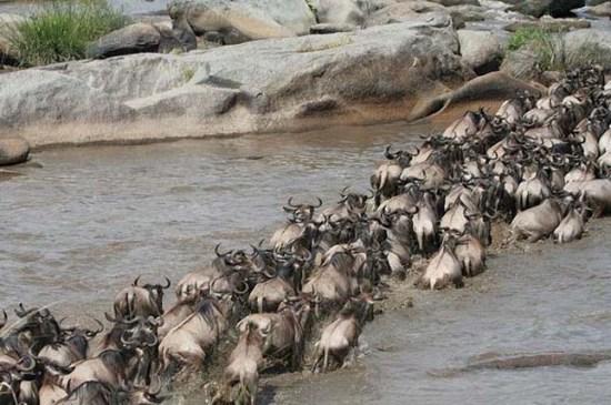 Gnuk átkelése a Mara-folyón