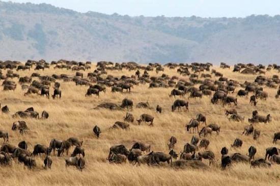 Legelésző gnuk a Szerengeti Nemzeti Park területén