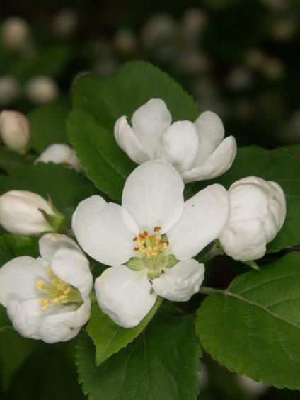 Vadalma virágzat