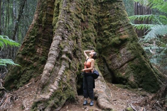 Eucaliptus regnans