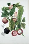 mangosztán (Garcinia mangostana)