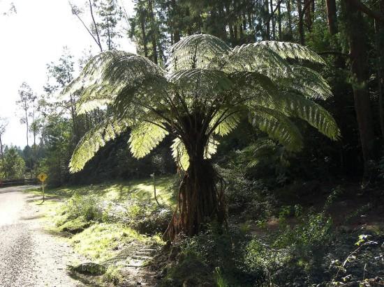 Az új-zélandi Dicksonia squarrosa páfrányfa