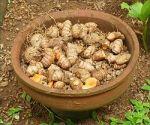 tarót (Colocasia esculenta)