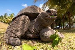aldabrai óriásteknős