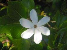 Tiaré virág
