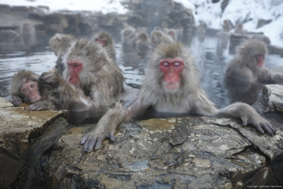 Japanese Macaques (Snow Monkey