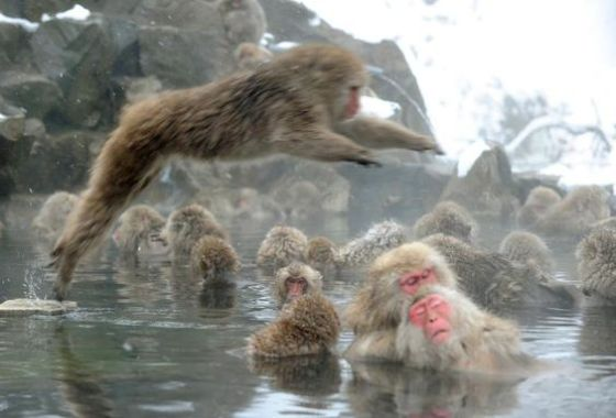 Japanese Macaques (Snow Monkeys
