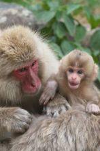 Japonese Macaque