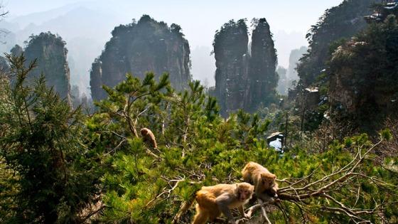 Monkeys atZhanhjiajie National Forest Park