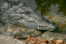 Everglades, American Crocodile