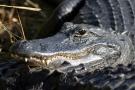 Everglades National Park, Aligator