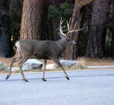 Mule deer in Yosemite Valley