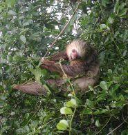 Hoffmann's Sloth