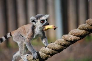 (Lemur catta