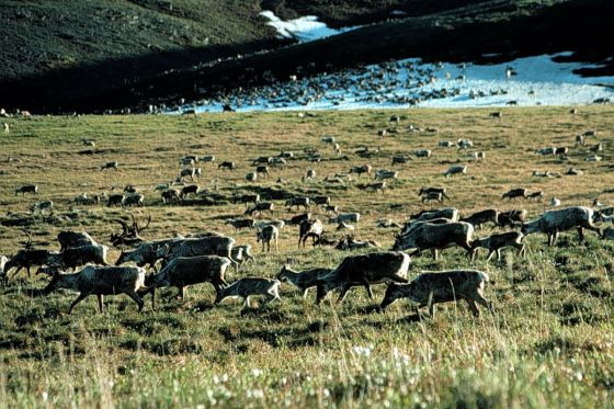 Caribou at Arctic National Wildlife Refuge