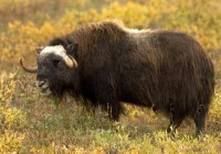 Muskox at Arctic National Wildlife Refuge