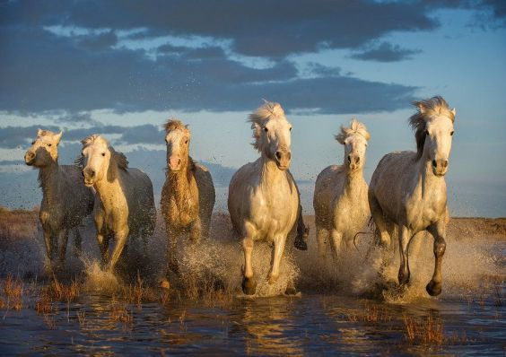 White Horses in Camargue