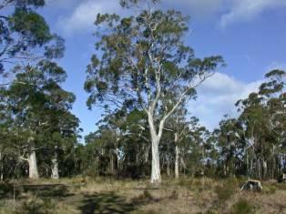 Eucalyptus pulchella