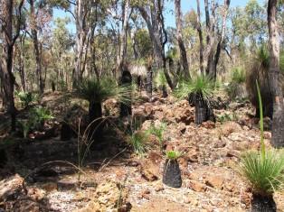 Grass tree in Australia
