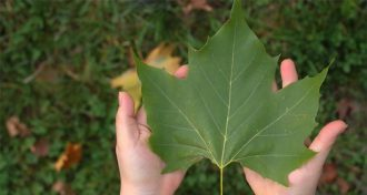 The maple leaf has been officially the national symbol of Canada since April 25, 1996