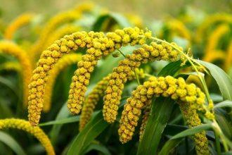 Millet plant