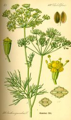 Dill (Anethum graveolens L.)
