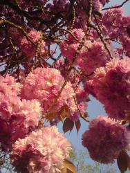 Prunus cultivars