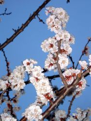 Apricot blossom detail