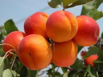 """""""Cegléd purple"""" apricots"""