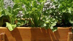 Presentation of celery varieties