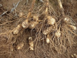 The picking of Jerusalem artichokes begins in the fall, a vegetable that can be eaten virtually all year round.