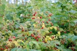 Wild Rubus idaeus