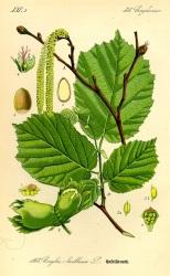 Hazelnut (Corylus avellana L.)